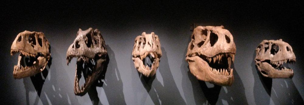 Cráneos de Tiranosaurio